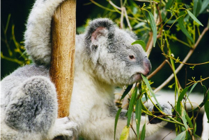 Koala_eucalyptus