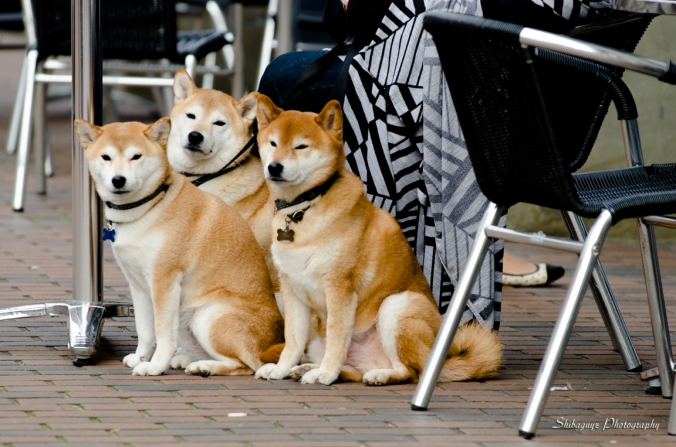 The Shiba Pupz