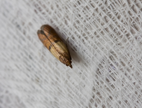 brown clothes moth sits on fabric closeup